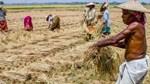 Ấn Độ giữ vững giá gạo toàn cầu với mức xuất khẩu kỷ lục
