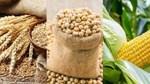 Giá ngũ cốc hôm nay 19/10: Đậu tương giảm từ mức cao nhất trong 6 ngày