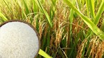 Thị trường lúa gạo ngày 29/9: giá gạo ổn định