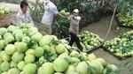 Chile chấp thuận mở cửa thị trường cho bưởi Việt Nam