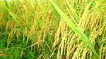 Diện tích gieo trồng lúa Basmati của Ấn Độ sẽ tăng 25% trong năm 2017-2018