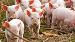 Giá lợn hơi ngày 21/5/2018 đã xuất hiện mức giá 50.000 đ/kg
