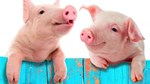 Giá lợn hơi ngày 26/5/2018 đã chững lại ở miền Bắc