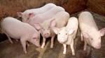 Giá lợn hơi ngày 26/9/2018 ổn định tại miền Bắc