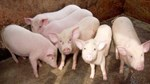 Giá lợn hơi ngày 15/1/2019 vẫn tăng tại thị trường miền Bắc