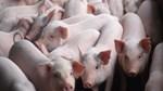 Giá lợn hơi ngày 26/4/2019 chưa ngừng đà giảm