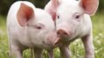 Giá lợn hơi ngày 17/5/2019 vẫn ở mức thấp ở cả 3 miền Bắc, Trung, Nam