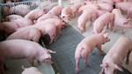 Giá lợn hơi 21/5/2019 tăng nhẹ tại một số tỉnh miền Nam