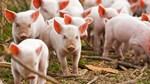 Giá lợn hơi ngày 17/10/2019 tạm ngừng chuỗi tăng kéo dài