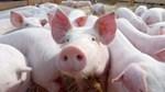 Giá lợn hơi ngày 21/10/2019 giảm tại thị trường miền Nam