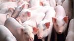 Giá lợn hơi ngày 9/12/2019 xuất hiện mức 82.000 đ/kg
