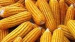 Trung Quốc sẽ nhập khẩu nhiều ngô để đáp ứng nhu cầu sử dụng ethanol