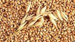 Thị trường NL TĂCN thế giới ngày 23/5: Giá lúa mì cao nhất gần 18 ngày
