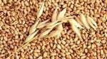 Giá lúa mì Nga giảm
