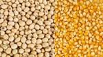 Thị trường NL TĂCN thế giới ngày 15/10/2018: Ngô và đậu tương giảm