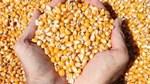 USDA: Dự báo cung cầu ngô thế giới niên vụ 2019/20