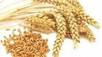 Thị trường TĂCN thế giới 10/7/2020: Giá lúa mì giảm