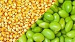 Thị trường TĂCN thế giới ngày 28/9/2020: Giá ngô và đậu tương đều giảm