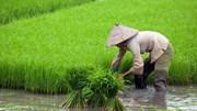 Gạo Việt 'đua' với gạo Thái, Ấn Độ, Campuchia thế nào?