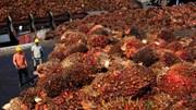 [P2]Thắt chặt qui định trong ngành sản xuất dầu cọ tại châu Á
