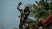 [P1] Ngành dầu cọ Châu Á chuẩn bị đối mặt với làn sóng phản đối dữ dội tại sân nhà