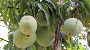 Mở đường cho trái xoài Việt Nam xuất khẩu vào thị trường Mỹ