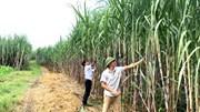 [Phần cuối]: Tìm lại 'vị ngọt' cho ngành đường