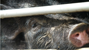 Campuchia cắt giảm mạnh nhập khẩu, không cho lợn quá cảnh vào Việt Nam