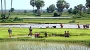 USDA: Dự báo thị trường lúa gạo thế giới