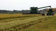TT lúa gạo châu Á: Giá tăng, gạo VN cao nhất 13 tháng