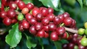Báo cáo thị trường cà phê quý II/2018