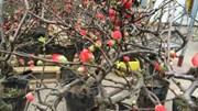 """Hoa mai đỏ lạ mắt trở thành thú chơi Tết mới của nhiều """"Thượng đế"""""""