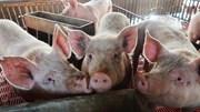 Số lợn nuôi của Trung Quốc có thể giảm 50%