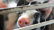 2019 có thể là năm đại khủng hoảng của ngành thịt lợn Trung Quốc
