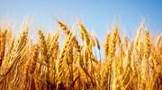 Ngành lúa mỳ nước Anh hưởng lợi từ quyết định rời khỏi EU