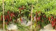 Phát triển giống ớt đặc sản ARiêu