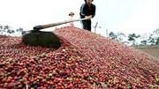 Giá cà phê trong nước giảm 500 nghìn/tấn cùng đà lao dốc của hàng hóa thế giới