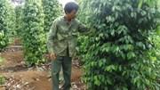 Phú Yên: Nông dân ồ ạt phá mía, sắn để trồng tiêu
