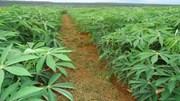 Chính thức dừng thu thuế xuất khẩu đối với mặt hàng sắn lát