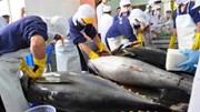 Xuất khẩu cá ngừ tăng mạnh tại thị trường Mỹ và châu Âu