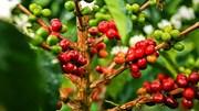 TT cà phê ngày 26/3: Tiếp nối đà hồi phục, chạm mốc 33.000 đồng/kg