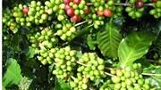 TT cà phê ngày 24/4: Giảm thêm 300 đồng/kg sau phiên chững giá