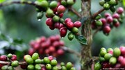 TT cà phê tuần 25: Tăng 500 đồng/kg, khối lượng giao dịch trên mức trung bình