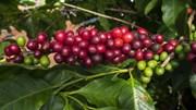 TT cà phê ngày 23/4: Không biến động sau chuỗi ngày giảm