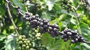 TT cà phê ngày 23/8: Đảo chiều sụt giảm, về mức giá 33.000 – 33.300 đồng/kg