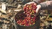 """TT cà phê tuần 41: Giao dịch khá trầm lắng trong kỳ """"giáp hạt"""""""