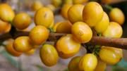 TT cà phê ngày 27/01: Giá đảo chiều hồi phục trên mức 31.000 đồng/kg