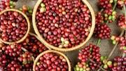 TT cà phê tuần 8 (22/02 – 26/02): Giá trong nước và thế giới đều tăng so với tuần trước