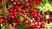 TT cà phê tuần 18 (03/5 – 08/5): Giá tăng tuần thứ 5 liên tiếp