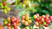 Giá cà phê hôm nay 05/8: Trong nước đi ngang, thế giới tăng giảm trái chiều